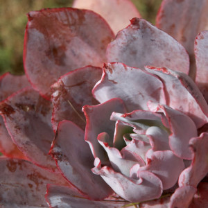 pink-red-flower