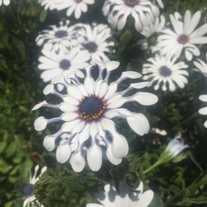 These daisies are opening up in the most beautiful way! Good morning ladies!