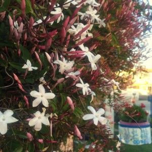 Can you smell this Jasmine from where you are?!